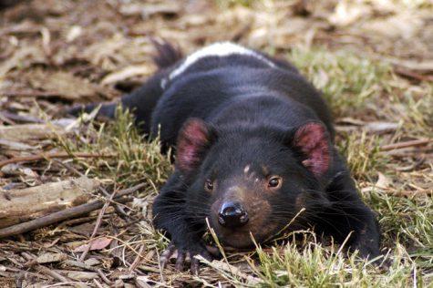 WSU researchers investigate contagious cancer in Tasmanian devils