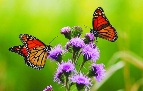 Tracking butterflies with convicts: A WSU research story