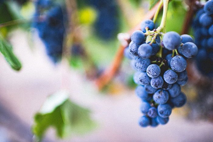 WSU researchers are looking for solutions to a virus that diminishes grapevine yield.