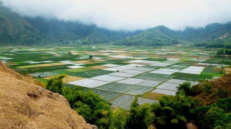 WSU researchers genetically alter rice plants