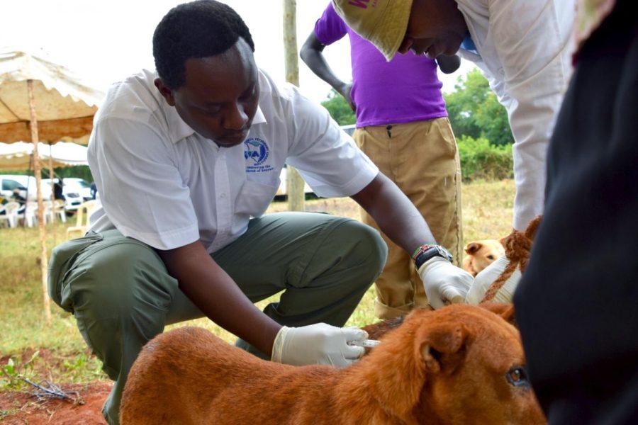 Dr. Thumbi Mwangi vaccinates an adult dog while researching in Kenya.