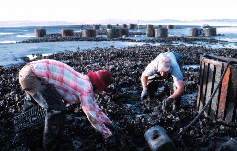 WSU tries to rid shore of problem crustacean
