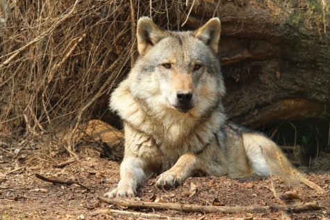 Reader Reactions | Wolf researcher resigns from WSU