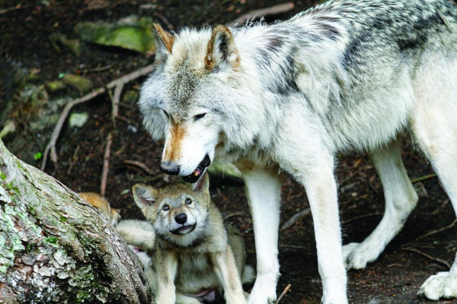 Research+done+by+Wielgus+suggested+killing+wolves+led+to+more+livestock+deaths+by+other+predators%2C+angering+ranchers+and+state+lawmakers.