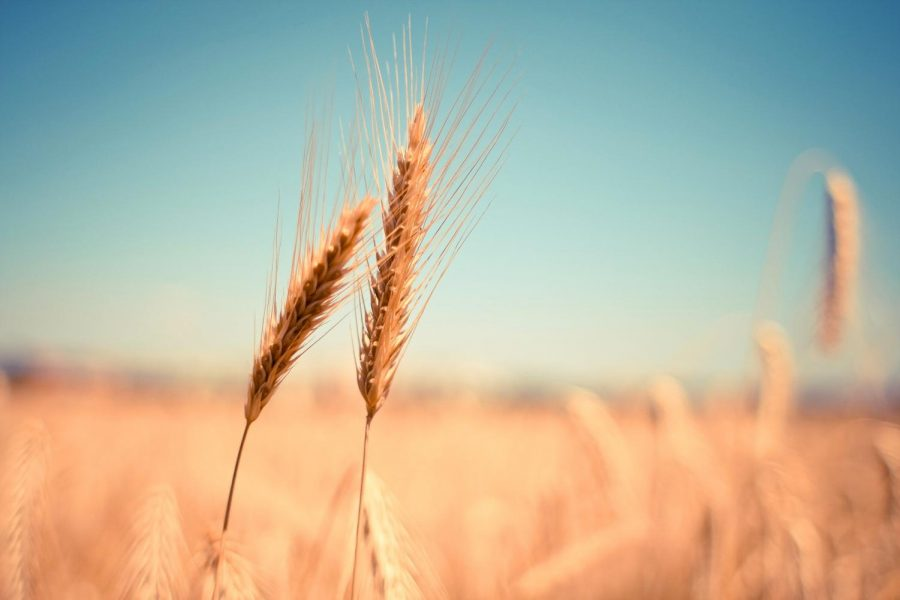 Stripe+rust+disease+is+a+fungus+that+affects+wheat+and+barley.+In+Whitman+County%2C+farmers+produce+millions+of+bushels+of+wheat+annually+and+weather+conditions+provide+the+perfect+climate+for+disease+to+flourish.+