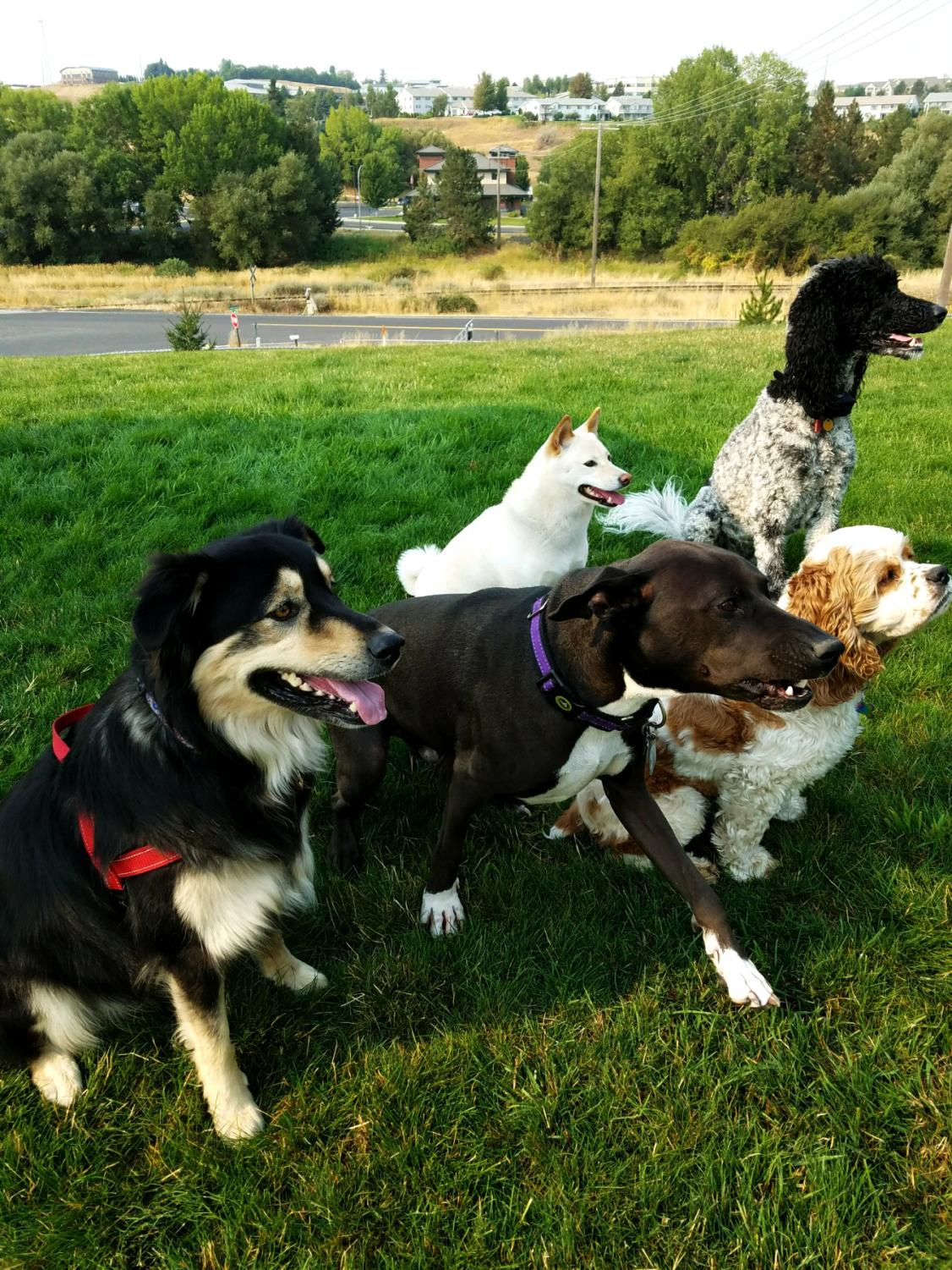 """""""The Mutt Strutt is important because Pullman is a super dog-friendly town,"""" committee member Kellie Klein said."""