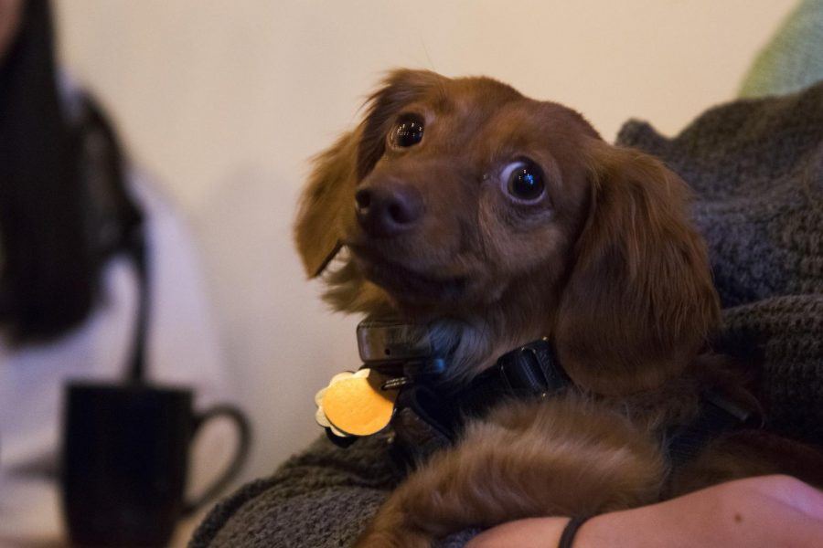Four+year-old+Cocoa%2C+a+long-haired+Dachshund%2C+rides+happily+in+the+arms+of+customer+at+Pups+and+Cups+in+downtown+Pullman+on+Friday.+