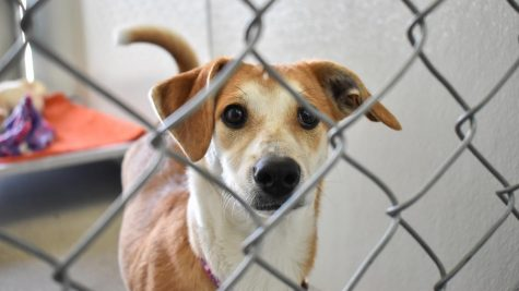 Beagle and Pembroke Welsh Corgi mix Rita spends time in a kennel Wednesday afternoon at Whitman County Humane Society. Dogs at the shelter will also be up for adoption after Mutt Strut, including Rita's sister Roxy.