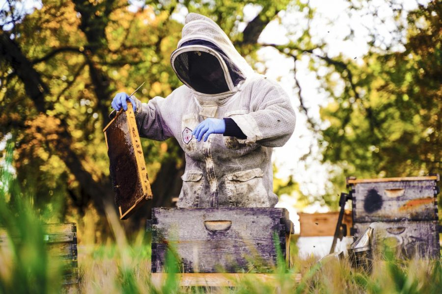 Bees swarm around WSU Apiary manager Rodrigo Guizar as he lifts a frame covered in honeycomb and bees from a wooden container Tuesday morning at a bee site.