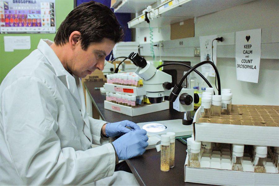Alan Goodman, assistant professor of molecular biosciences at WSU, examines fruit flies under a microscope.