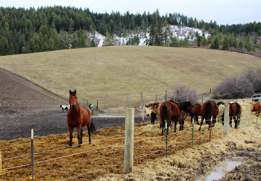 Sir Conan watches from behind the fence Friday, Jan. 31 at Orphan Acres near Viola, Idaho. Serena Hofdahl