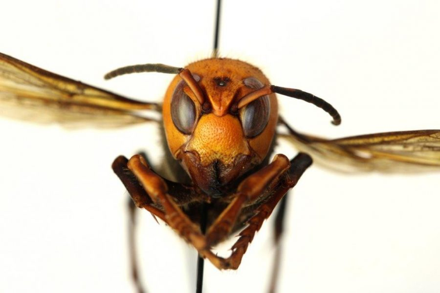The Asian giant hornet does not have predators in the U.S and can destroy a honey bee colony within minutes.