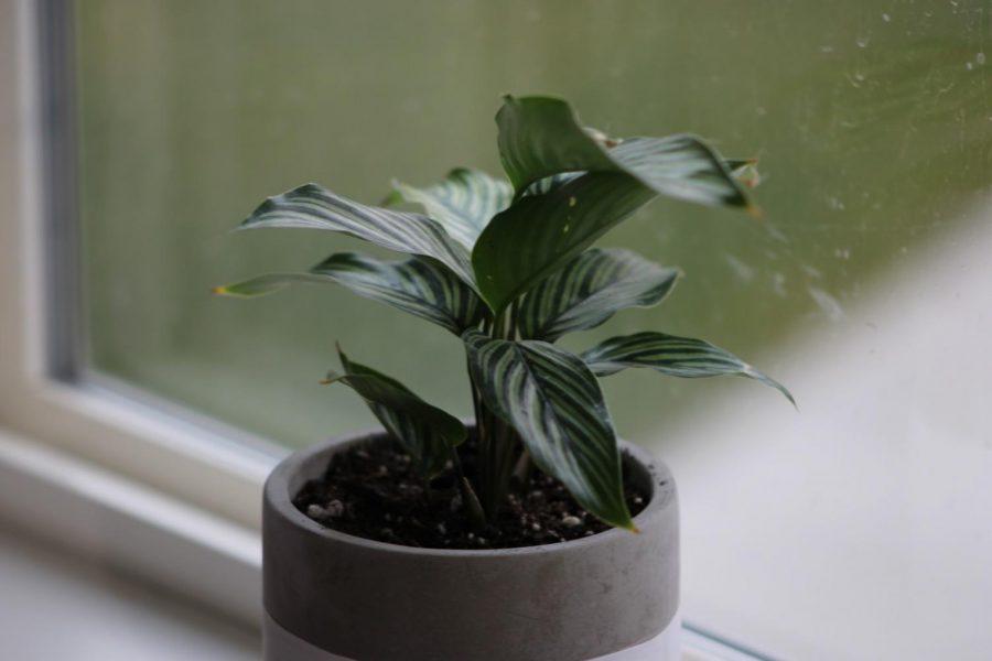 Calathea Vittata has crispy leaves due to lack of humidity.