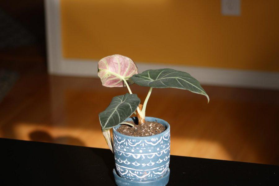 Alocasia black velvet has thick, velvet like leaves that harden as they age.