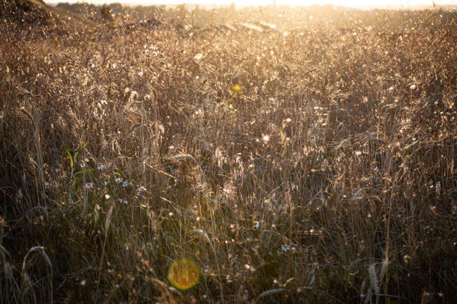 Wild-grown wheat on the hills near The Retreat in Pullman, WA